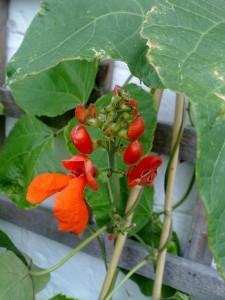 balcony gardener beans