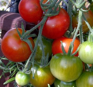 Gardeners Delight Tomatoes on my Balcony