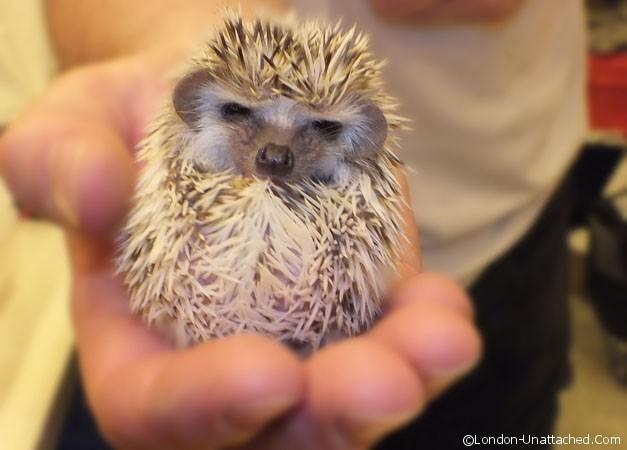 a-baby-hedgehog