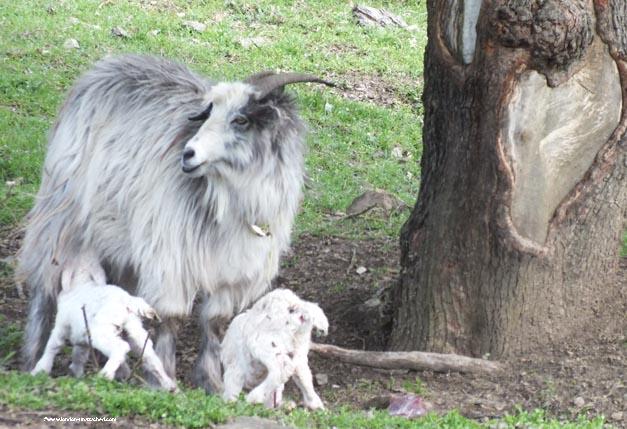 1 cashmere goats