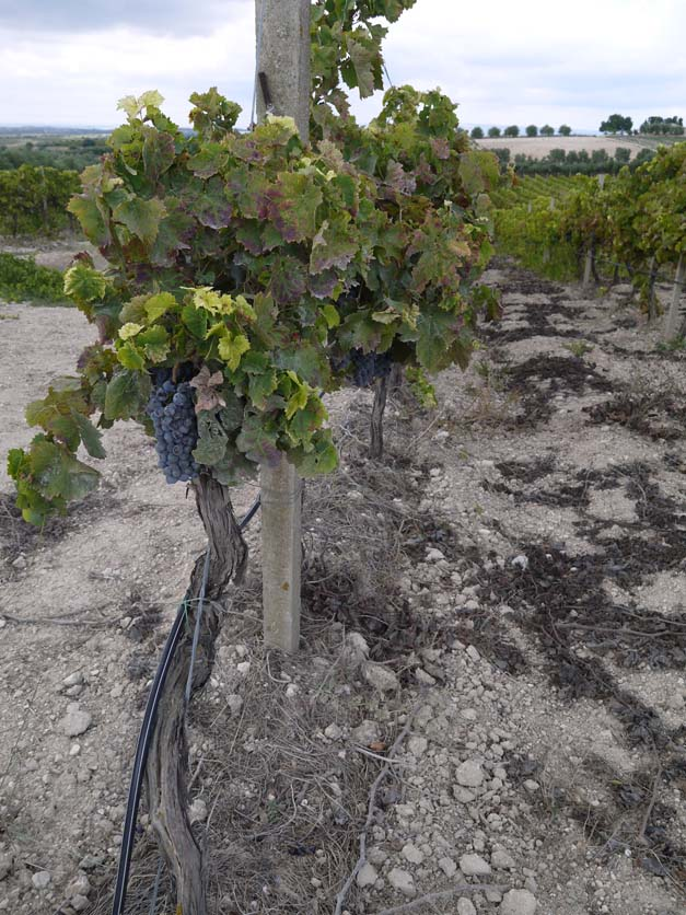 alberello nero d'avola vines