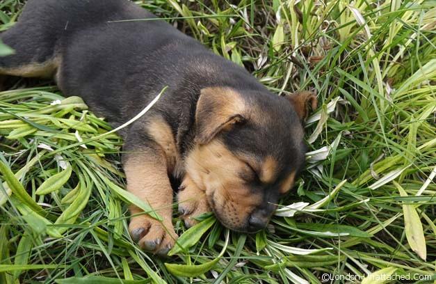 tenuta dei fossi puppy