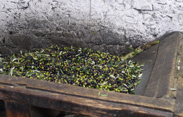 The harvest - Olive Oil Production in Tuscany