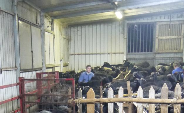 hand milking sheep