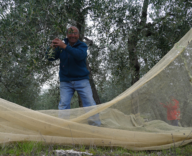 harvesting olives in tuscany