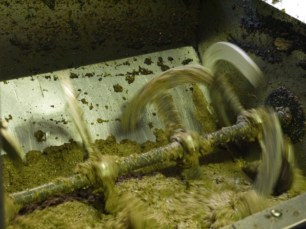 maceration 2 Olive Oil Production in Tuscany