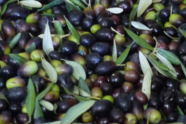 the crop - olives in tuscany