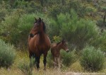 Faia Brava Horse with Foal 2