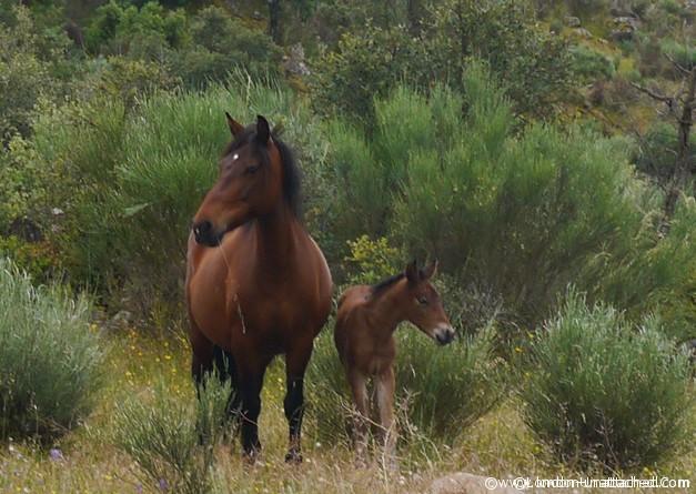 Faia Brava Horse with Foal 2