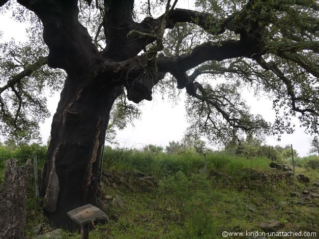 Faia Brava unstripped cork tree