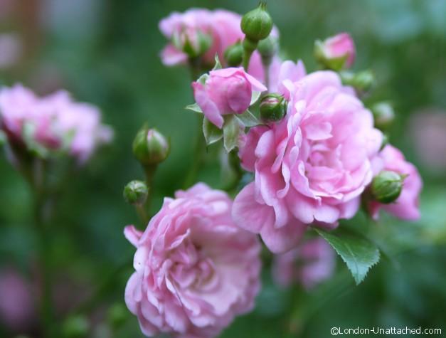 Roses - Draycott Hotel Garden