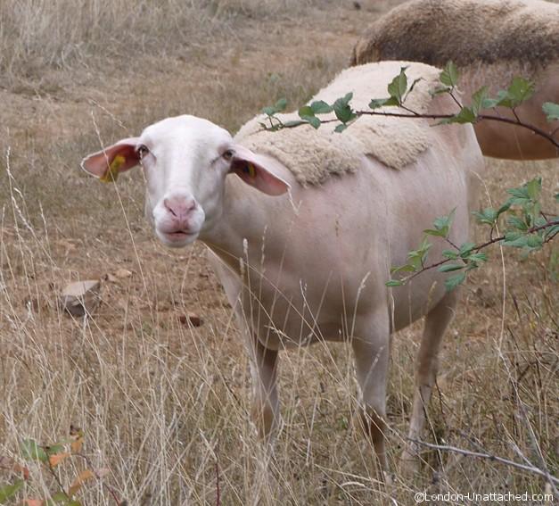 sheep causses et cevennes