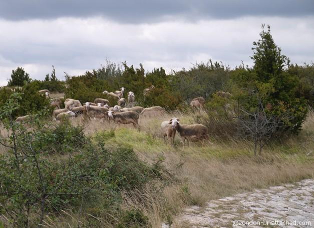 sheep in Causses et Cevennes