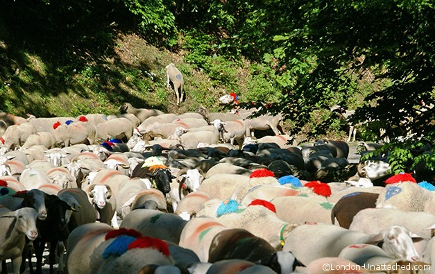 Sheep dressed for Transhumance - Causses et Cevennes