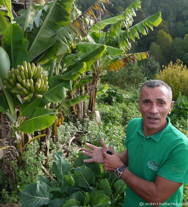 Bananas in Madeira