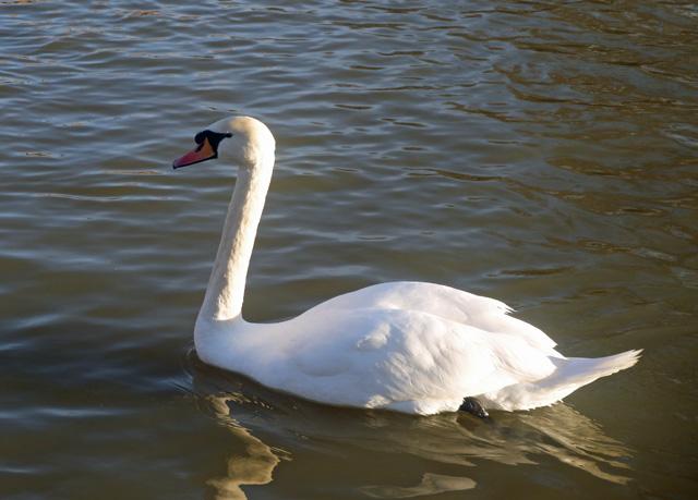 Stratford Swan