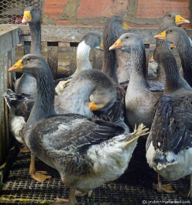Geese Awaiting Gavage - Sarlat