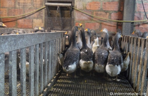 Geese for Gavage in Pens