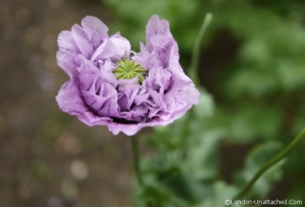 Poppy at St James