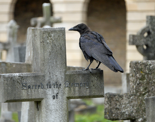 Crow on Cross at Brompton Cemetery