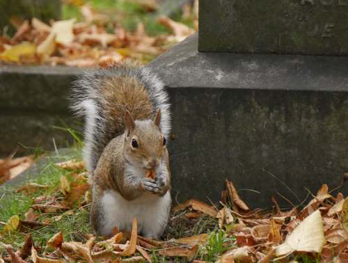 Classic squirrel at Brompton Cemetery