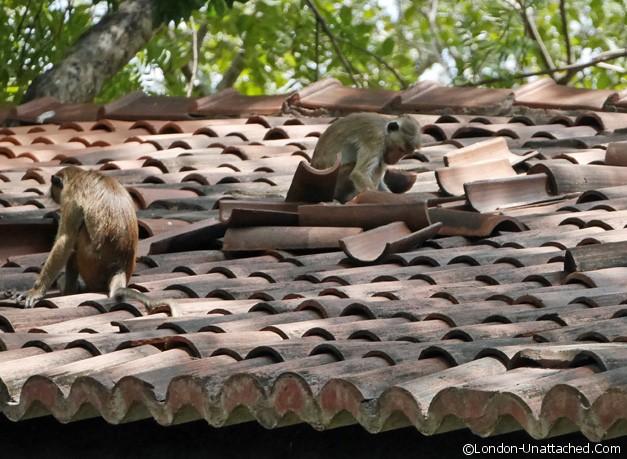 monkey workmen at habarana