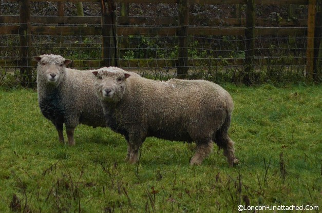 Southdown Sheep Goodwood