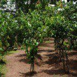 Sri Lanka River Boat Safari - cinnamon trees