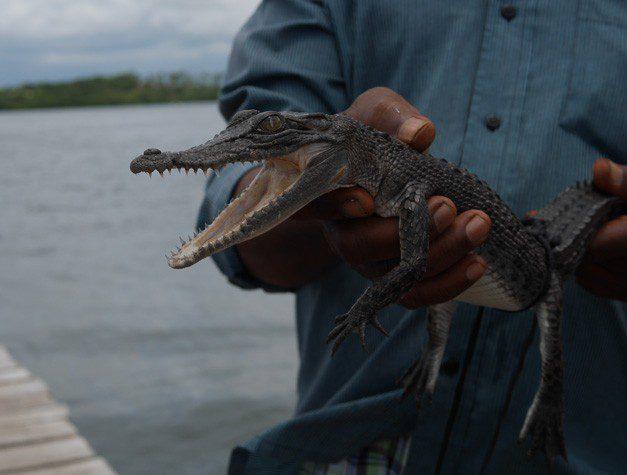 Sri Lanka River Boat Safari - crocodile