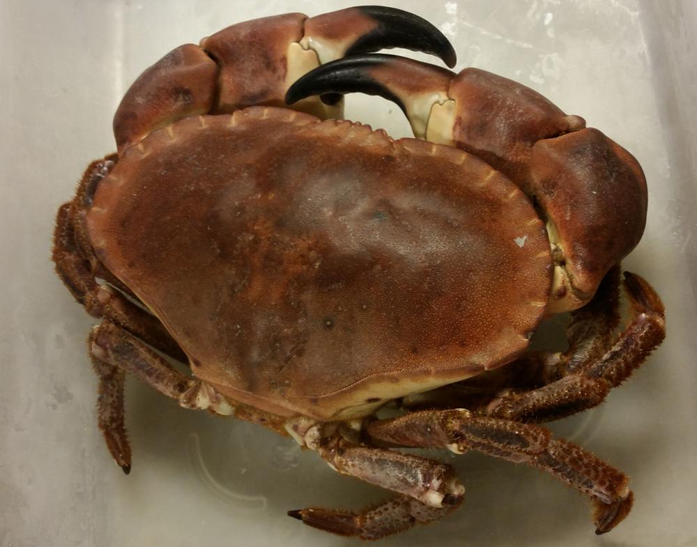 Randall and Aubin - live Crab