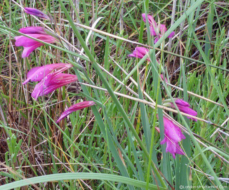 Marshland gladioli nin