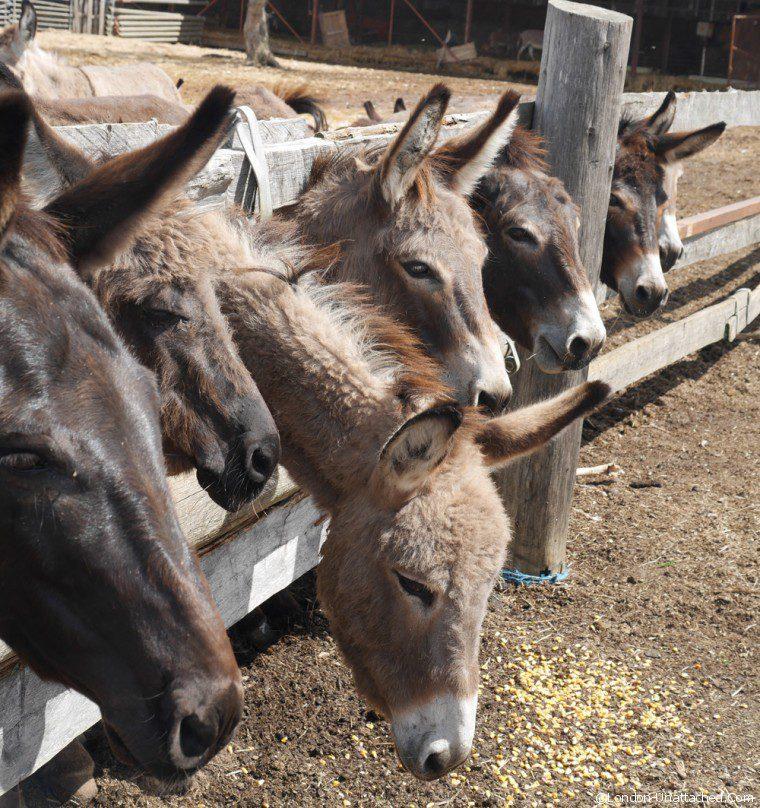 Niin -donkeys 2