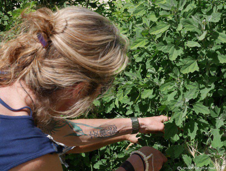 Brantes - wild spinach