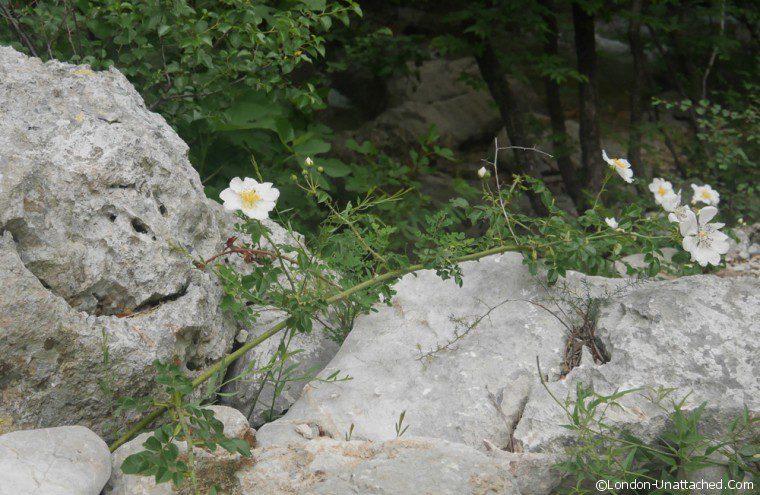 Paklenica Dog Roses