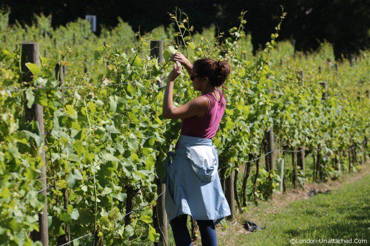 Sedlescombe - pruning 2