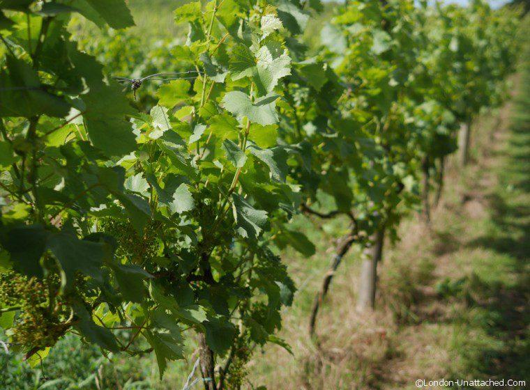Sedlescombe vines1