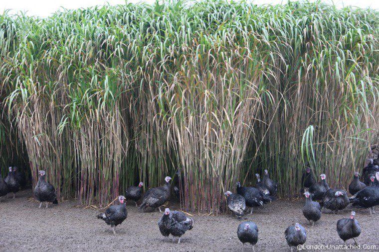 Copas Turkey in the Grass