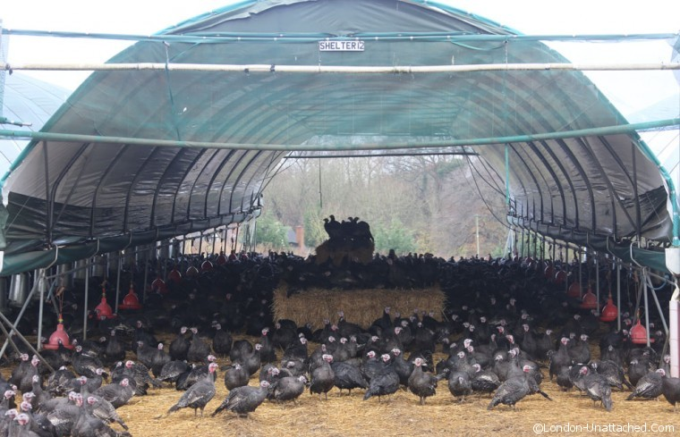 Copas Turkeys Sheltering