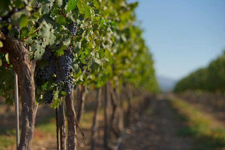 Vineyard1m