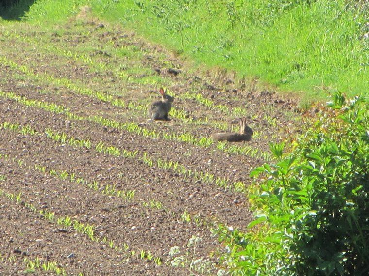 Dandelion hideaway - farmers nightmare