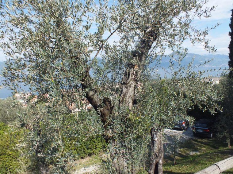 OLIVE TREE lake Garda