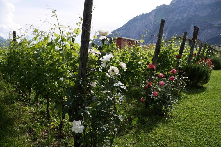 Garda Trentino Vines