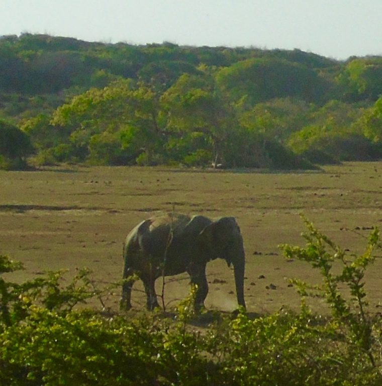 Elephant in Sri Lanka