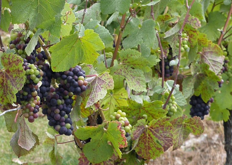 grapes-hush-heath-winery-copy