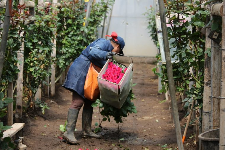 Quito Ecuador Rose Worker