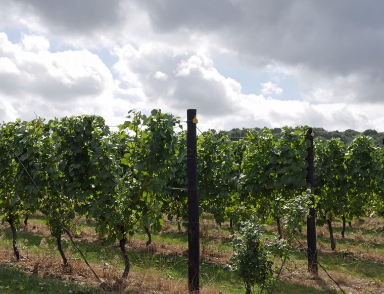 hush-heath-winery-vines