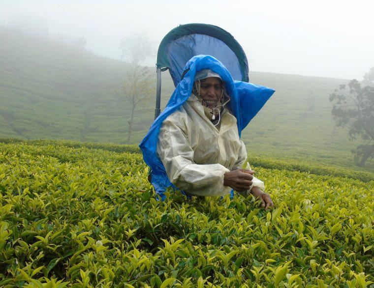 teapicker - Nurawa Eliya