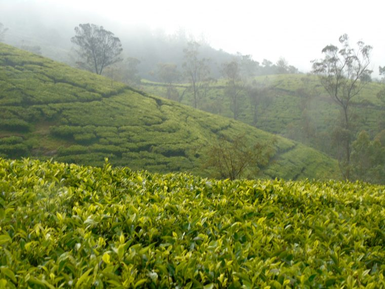 tea terraces Nurawa Eliya