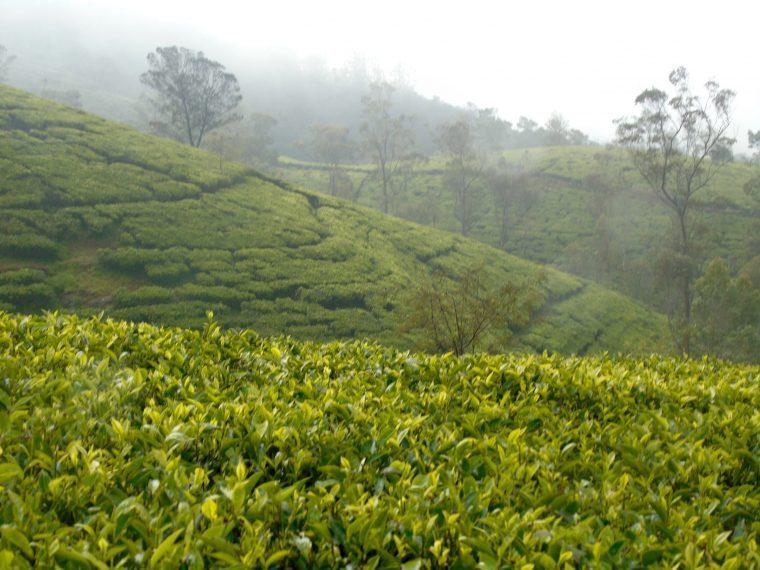 tea terraces Nurawa Eliya