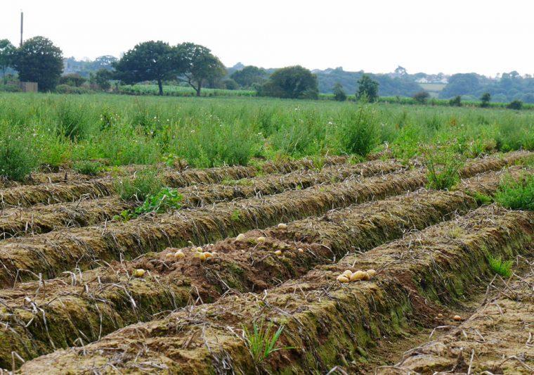 jersey-potato-crops